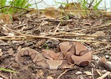 Serpente del Osage Copperhead, contortrix del Agkistrodon Immagini Stock Libere da Diritti