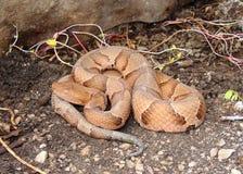Serpente del Osage Copperhead, contortrix del Agkistrodon Immagine Stock