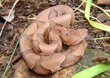 Serpente del Osage Copperhead, contortrix del Agkistrodon Fotografia Stock