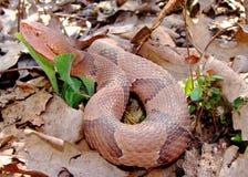 Serpente del Osage Copperhead, contortrix del Agkistrodon Immagine Stock Libera da Diritti