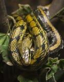 Serpente del pitone Immagini Stock Libere da Diritti