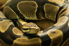 Serpente del pitone Fotografie Stock Libere da Diritti