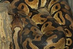 Serpente del pitone reale Immagini Stock Libere da Diritti