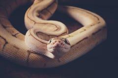 Serpente del pitone reale fotografia stock
