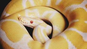 Serpente del pitone reale immagini stock