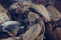 Serpente del pitone reale intorno a legno fotografia stock libera da diritti