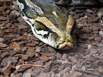Serpente del restringitore di boa chiuda su di bello serpente del boa constrictor nella sua recinzione immagini stock