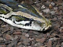Serpente del restringitore di boa chiuda su di bello serpente del boa constrictor nella sua recinzione fotografie stock libere da diritti
