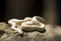Serpente dell'albino Fotografia Stock