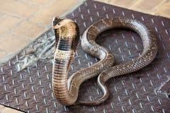 Serpente della cobra fotografie stock