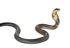 Serpente della cobra Fotografie Stock Libere da Diritti