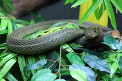 Serpente della cobra Immagine Stock