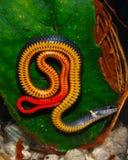 Serpente della Florida Ringneck Immagini Stock Libere da Diritti