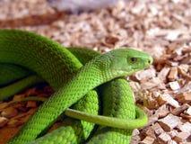 Serpente della mamba verde Fotografie Stock