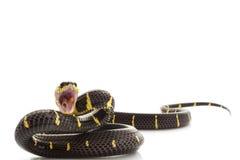 Serpente della mangrovia Immagini Stock