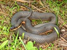 Serpente della regina (septemvittata di Regina) Fotografia Stock Libera da Diritti