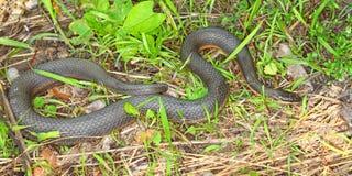 Serpente della regina (septemvittata di Regina) Immagine Stock