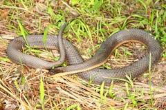 Serpente della regina (septemvittata di Regina) Immagini Stock Libere da Diritti