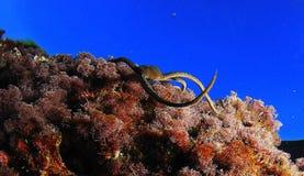 Serpente della stella Fotografia Stock