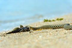 Serpente di acqua Fotografie Stock Libere da Diritti