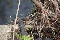 Serpente di acqua che espone al sole su un ceppo Fotografia Stock Libera da Diritti