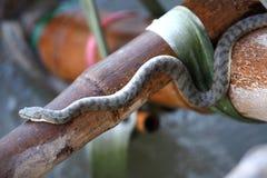 serpente di acqua dalla faccia soffio Fotografia Stock