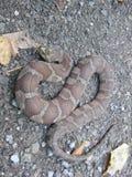 Serpente di acqua della parte centrale fotografia stock