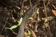Serpente di acqua legato nella boscaglia dei terreni paludosi del ` s di Florida Immagine Stock