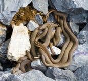 Serpente di acqua nordico del Brown immagini stock