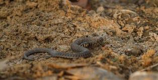 Serpente di acqua sul fiume immagini stock