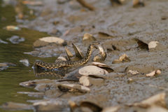 Serpente di acqua sul fiume fotografie stock