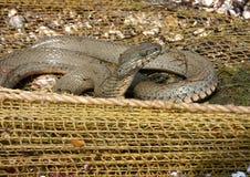 Serpente di acqua sulla caccia fotografia stock