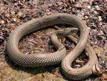Serpente di acqua sulla caccia sulla riva fotografie stock