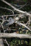 serpente di acqua Vasto-legato immagine stock