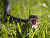 serpente di attacco Immagini Stock Libere da Diritti