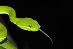 Serpente di bambù Fotografia Stock