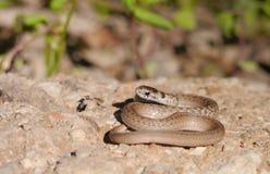 Serpente di Brown Fotografie Stock Libere da Diritti