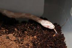 Serpente di cereale bianco Immagini Stock Libere da Diritti