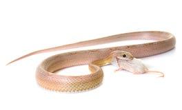 Serpente di cereale che mangia topo Fotografie Stock