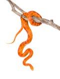 Serpente di cereale di Creamsicle (guttata di guttata del Elaphe) su un ramo asciutto Isolato Immagini Stock