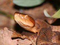 Serpente di Copperhead (contortrix del Agkistrodon) Fotografie Stock Libere da Diritti