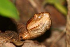 Serpente di Copperhead (contortrix del Agkistrodon) Fotografia Stock