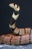 Serpente di corallo del capo/lubricus del Aspidelaps Fotografia Stock