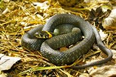 serpente di erba Immagini Stock Libere da Diritti