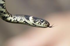 Serpente di erba Fotografia Stock