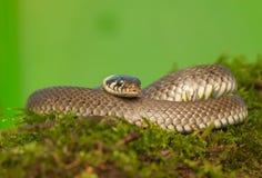 Serpente di erba Immagini Stock