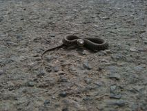 Serpente di erba Fotografie Stock Libere da Diritti