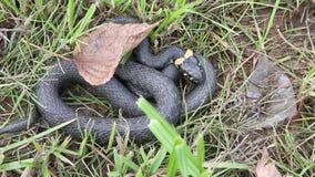 Serpente di erba che si nasconde nell'erba stock footage