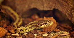 Serpente di erba (Elaphe Dione) che guarda dal riparo Fotografia Stock