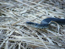 Serpente di erba in erba secca Fotografie Stock Libere da Diritti